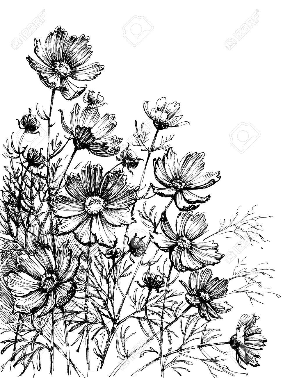 Cosmos Flowers Hand Drawing Garden Background Royalty Free