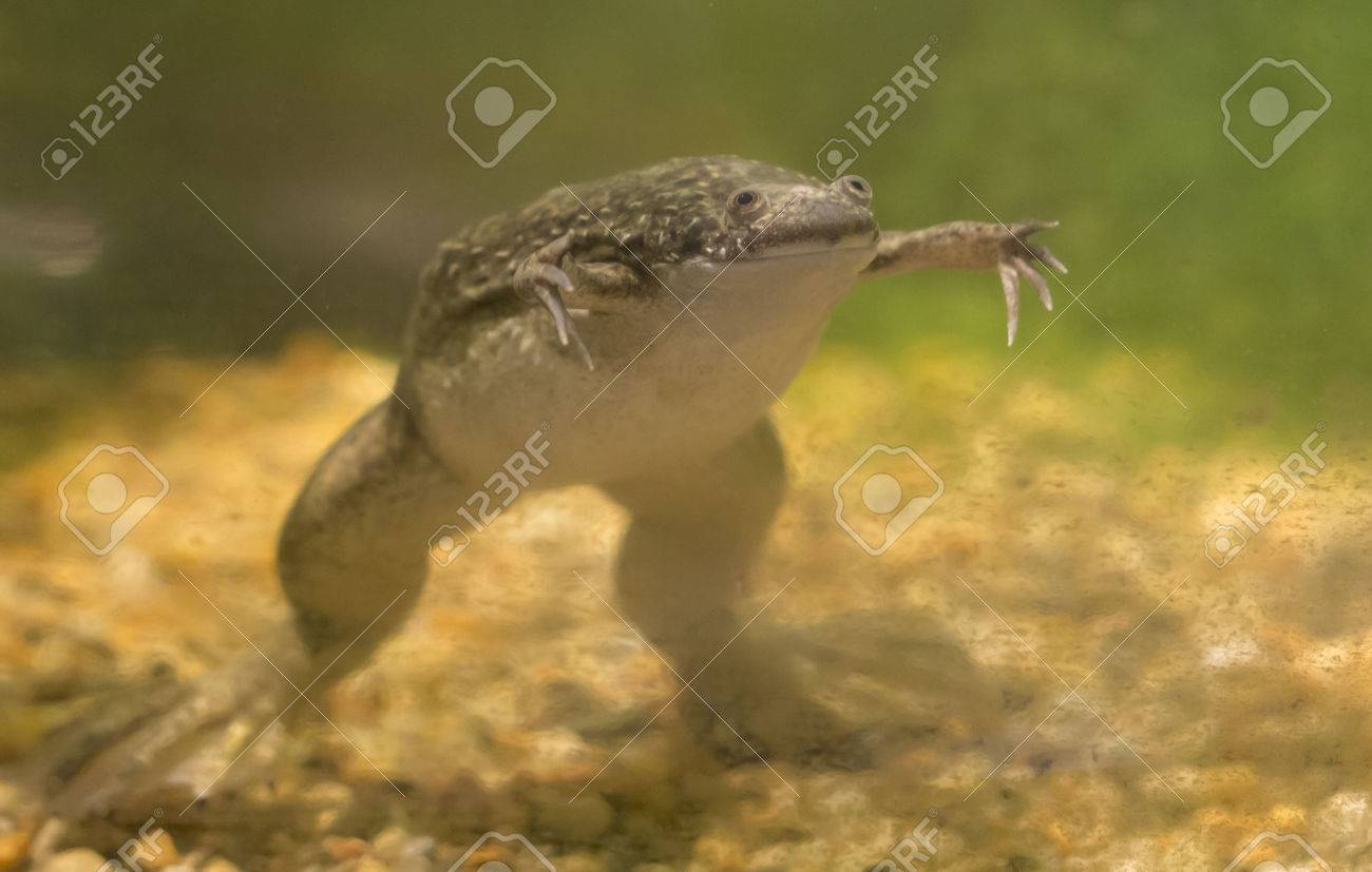 african clawed frog xenopus laevis swimming in a tank stock photo rh 123rf com African Dwarf Frog Habitat African Clawed Frog Habitat