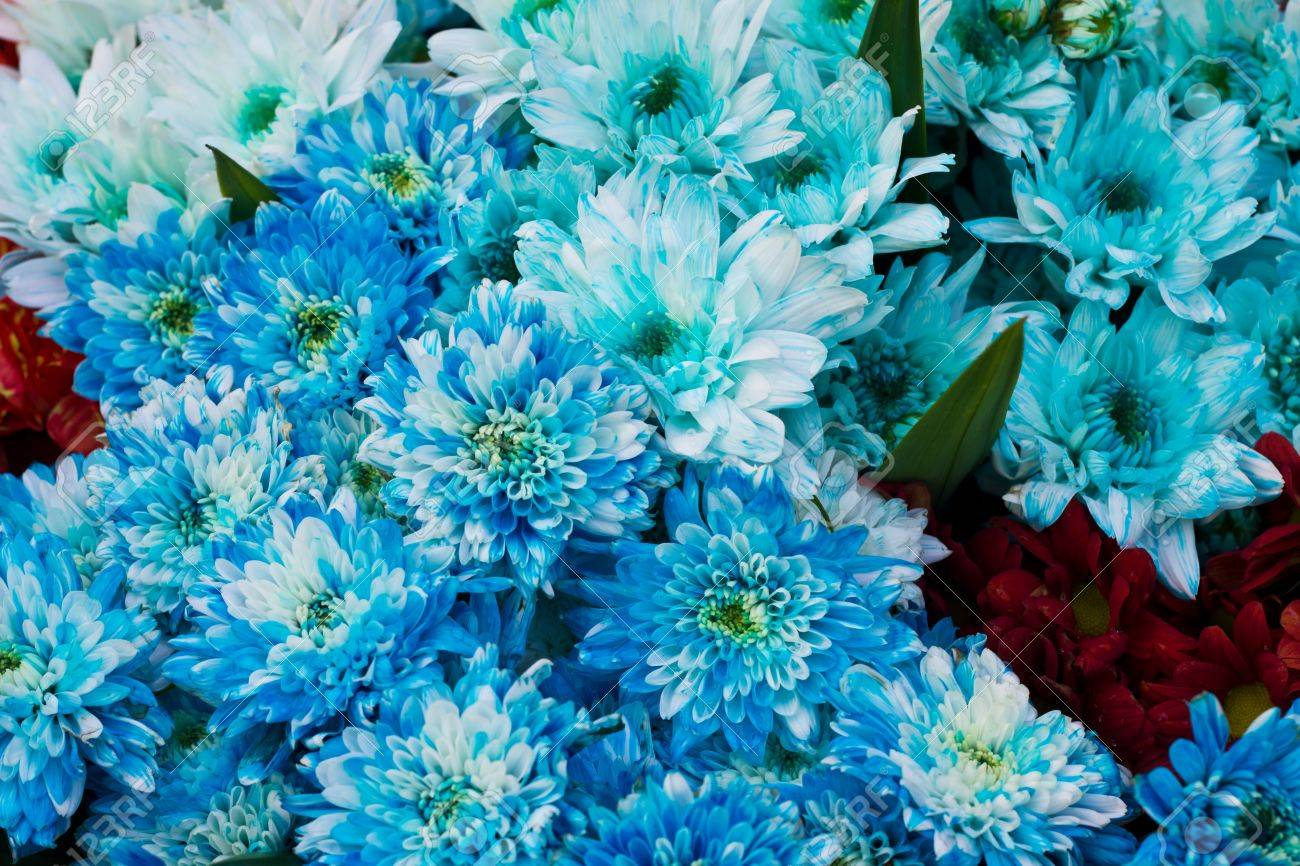 Blue Daisy Flowers Blue White Daisy Flowers And