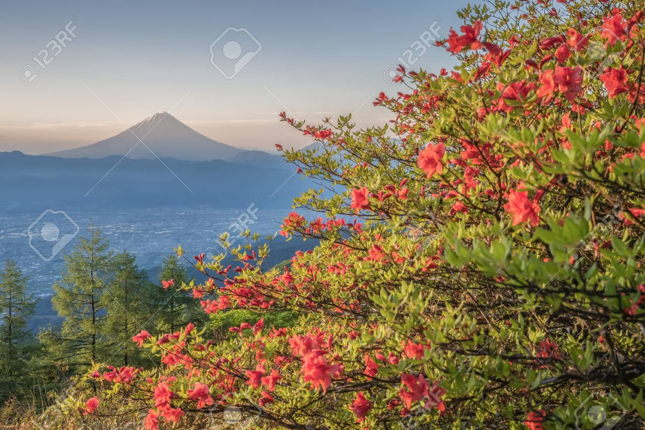 Japanese Azalea Flower And Mountain Fuji In Spring Season Azalea