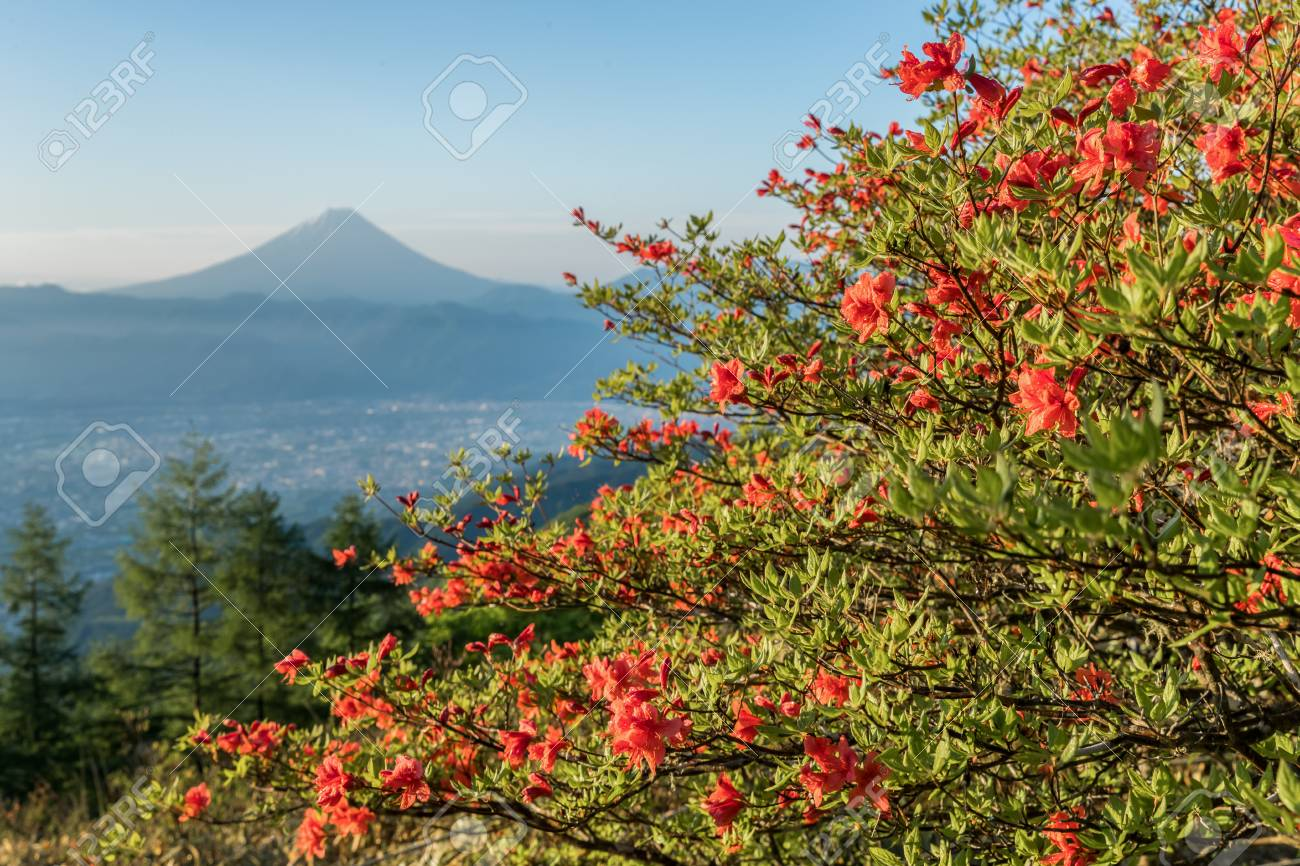Japanese azalea flower and mountain fuji in spring season azalea japanese azalea flower and mountain fuji in spring season azalea or tsutsuji spring flowers mightylinksfo