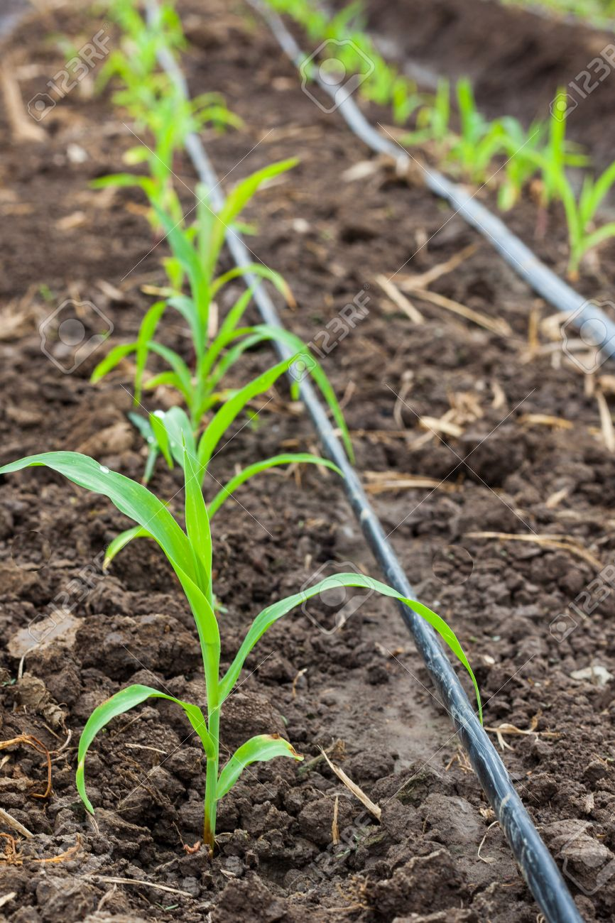 corn field growing with drip irrigation system stock photo