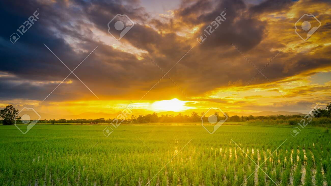 Panorama natural scenic beautiful sunset and rice field agricultural background - 130791372