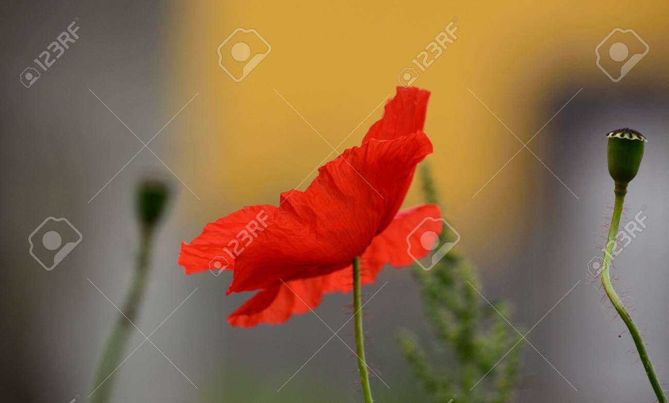Beautiful Poppy Flower Isolated Of Intense Color Stock Photo ...
