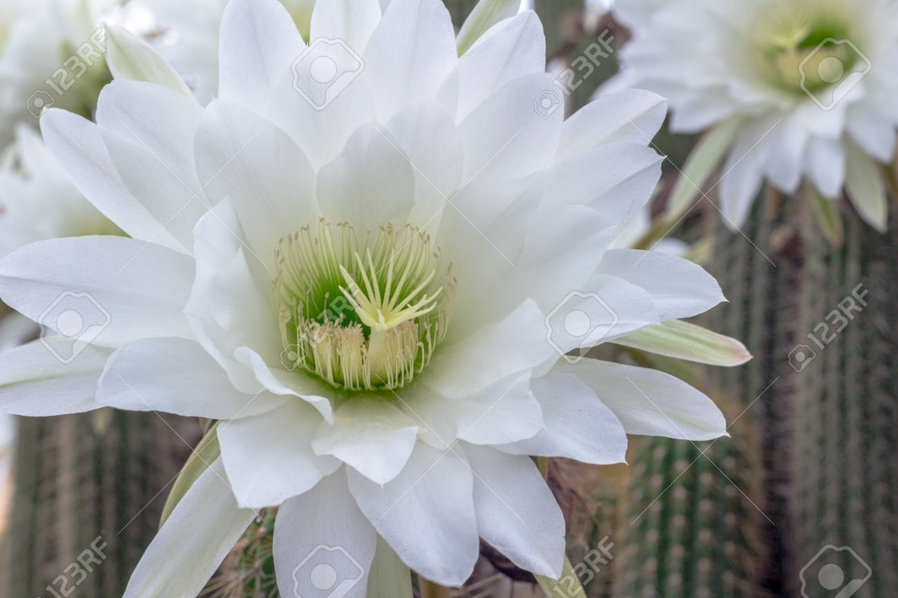 White cactus flower closeup night blooming cereus cactus stock stock photo white cactus flower closeup night blooming cereus cactus nature background mightylinksfo Image collections