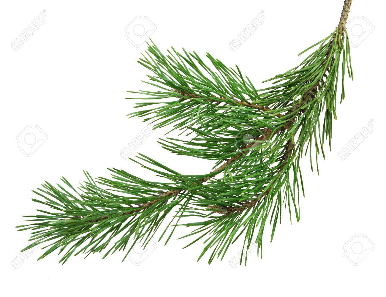 pine branch, close-up, isolated on a white background without a shadow. Nature in details. Winter festive decor. - 151446161
