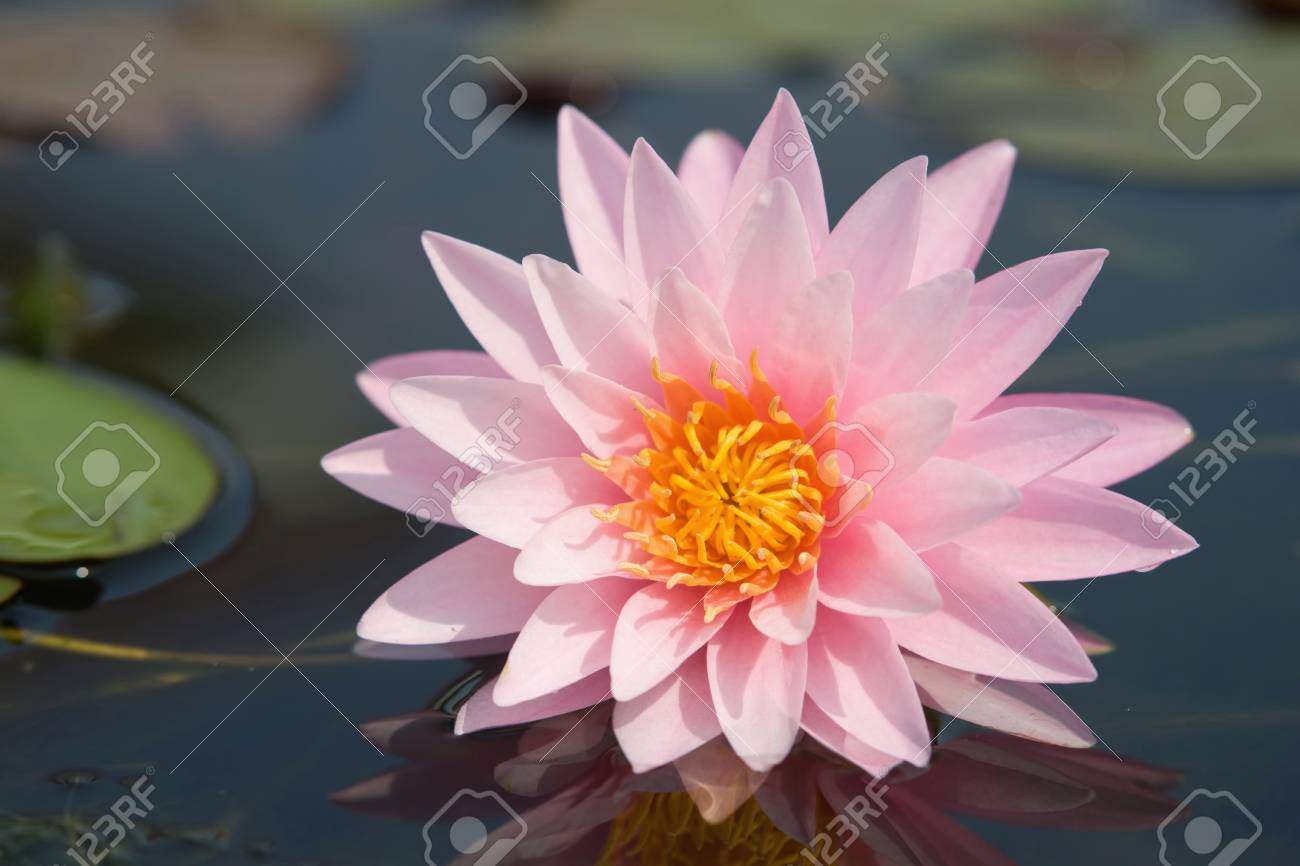 Water lilly flower Stock Photo - 14494535