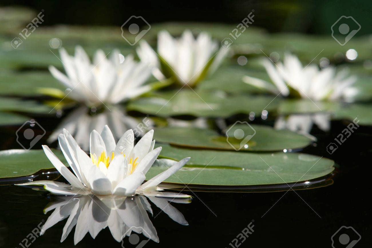 Water lilly flower Stock Photo - 14571652