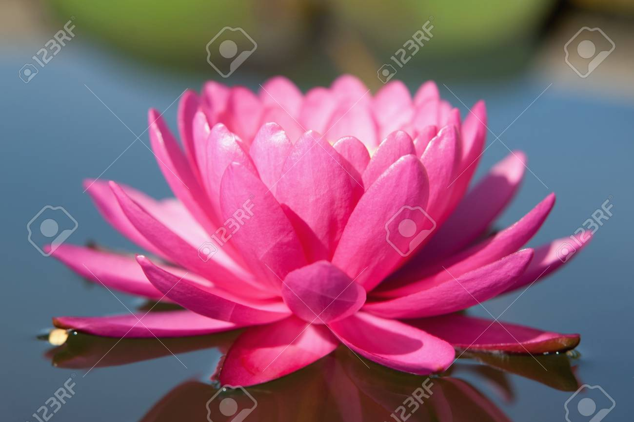 Water lilly flower Stock Photo - 14934200