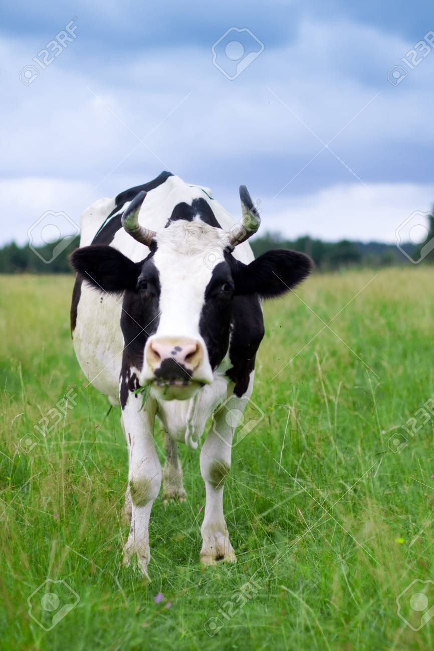 A cow grazes in a field. Closeup. Stock Photo - 6008567