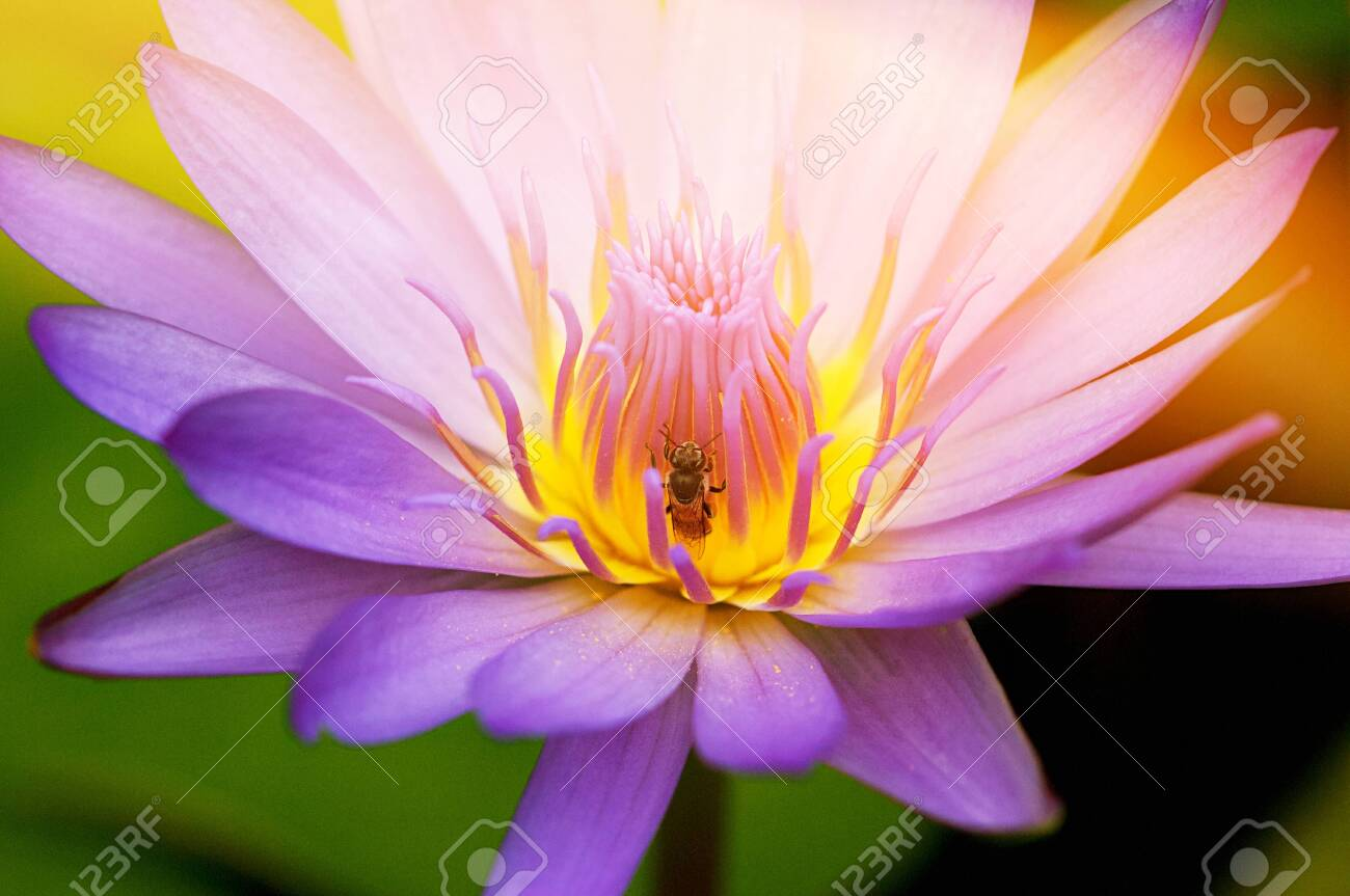 Pink Lotus In Pond Blooming In The Morning With Ray Of Sun Light Beautiful Flower Use For Wallpaper Background