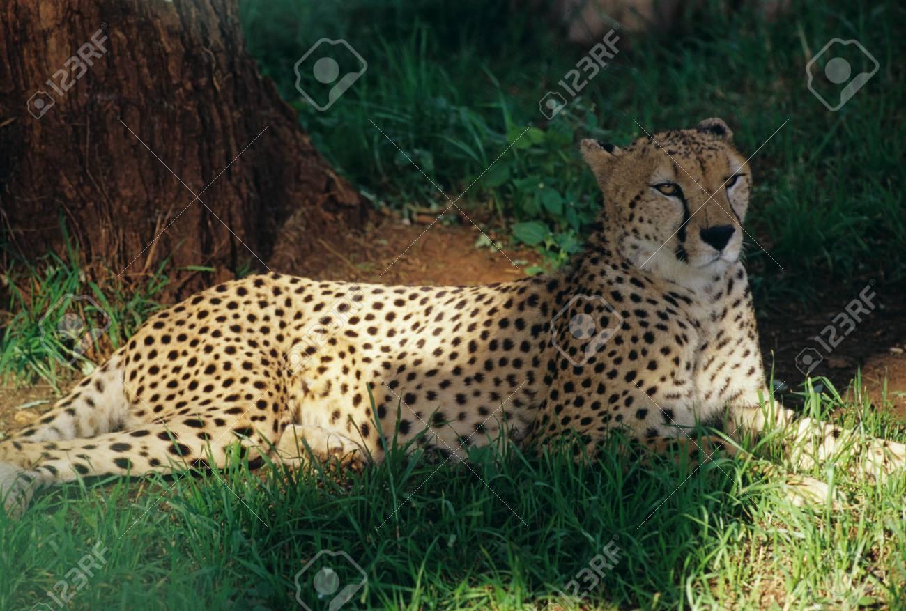 Mount Kenya Safari Club,Cheetah Stock Photo - 10729282