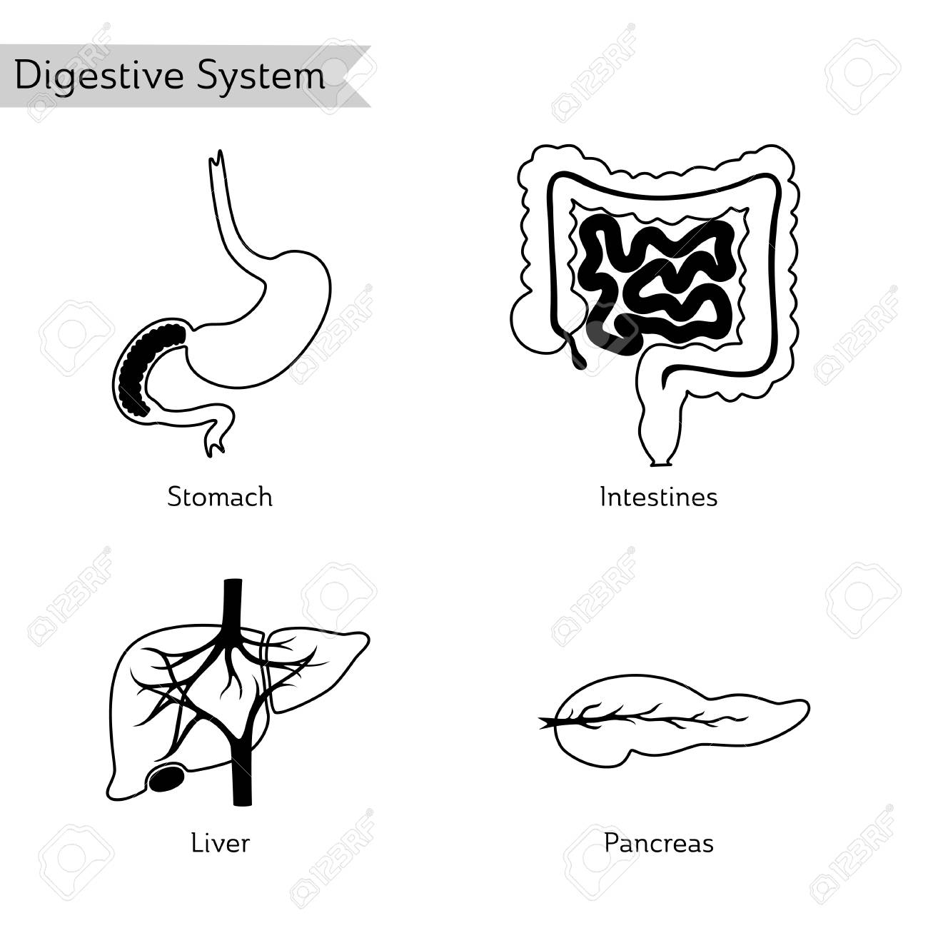 Vector Isolated Illustration Of Human Digestive System Anatomy