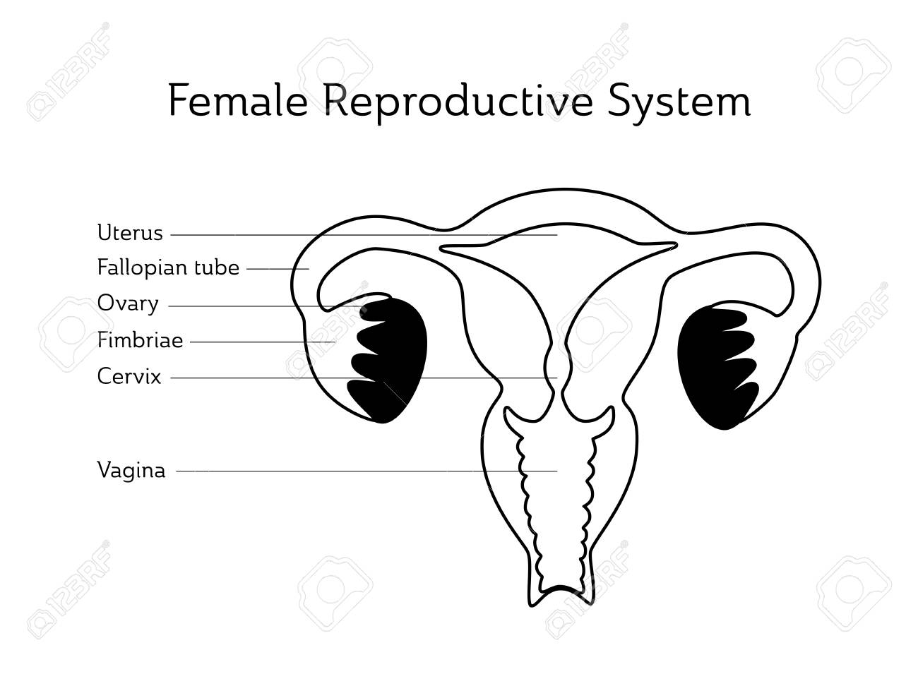 Vector Isolated Illustration Of Female Reproductive System Anatomy