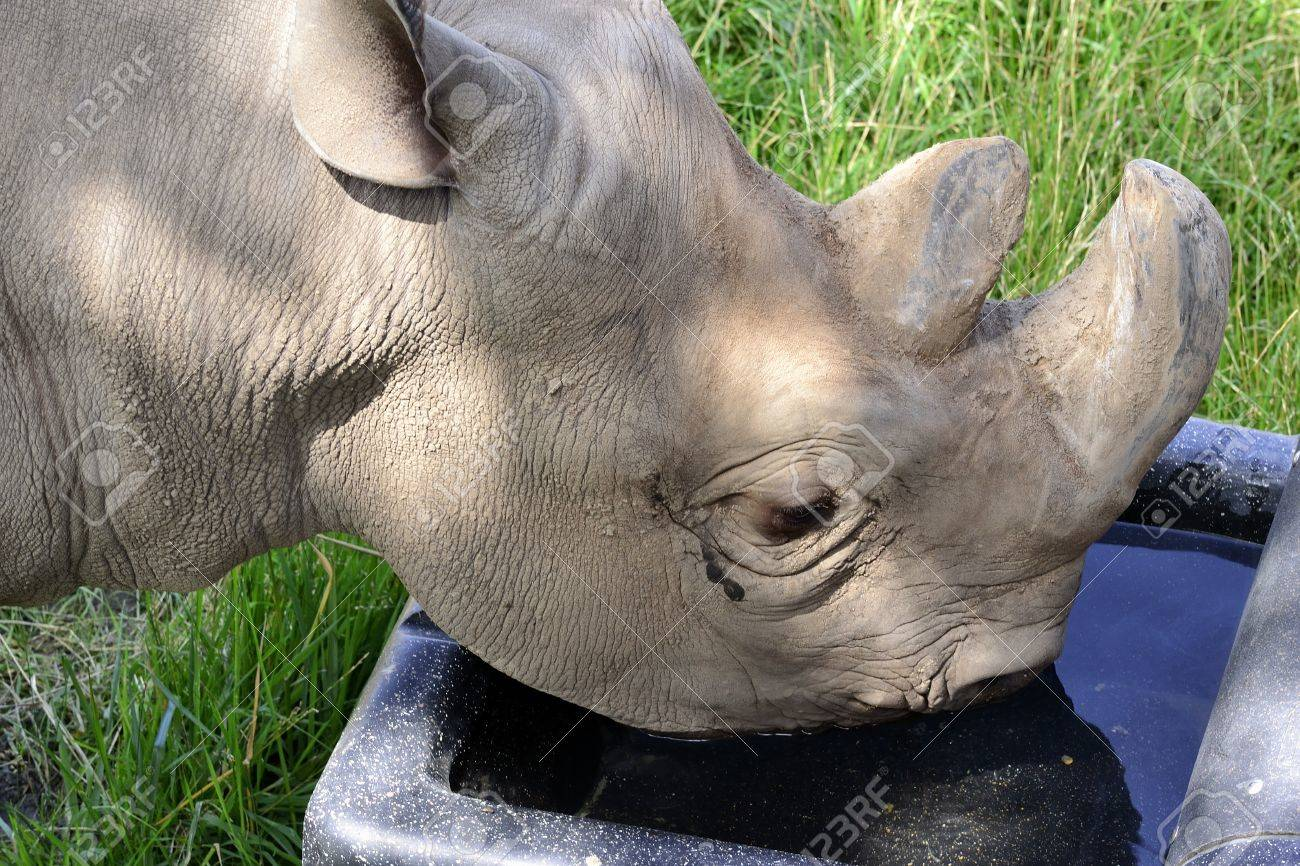 Young rhino getting a drink of water