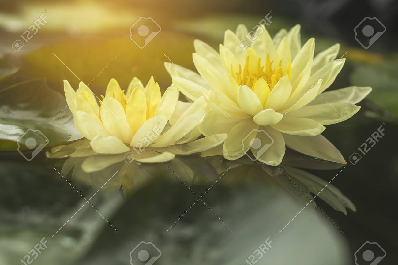Good Morning With Beautiful Lotus Flower Stock Photo Picture And