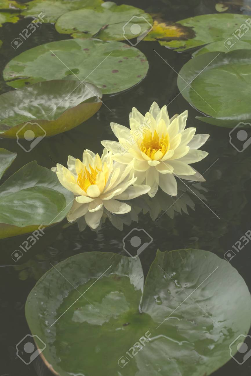 Good morning with beautiful lotus flower stock photo picture and good morning with beautiful lotus flower stock photo 82902629 izmirmasajfo