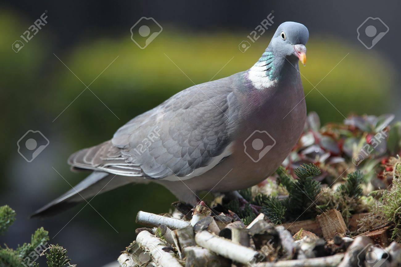 wood pigeon(Columba palumbus) Stock Photo - 14944317
