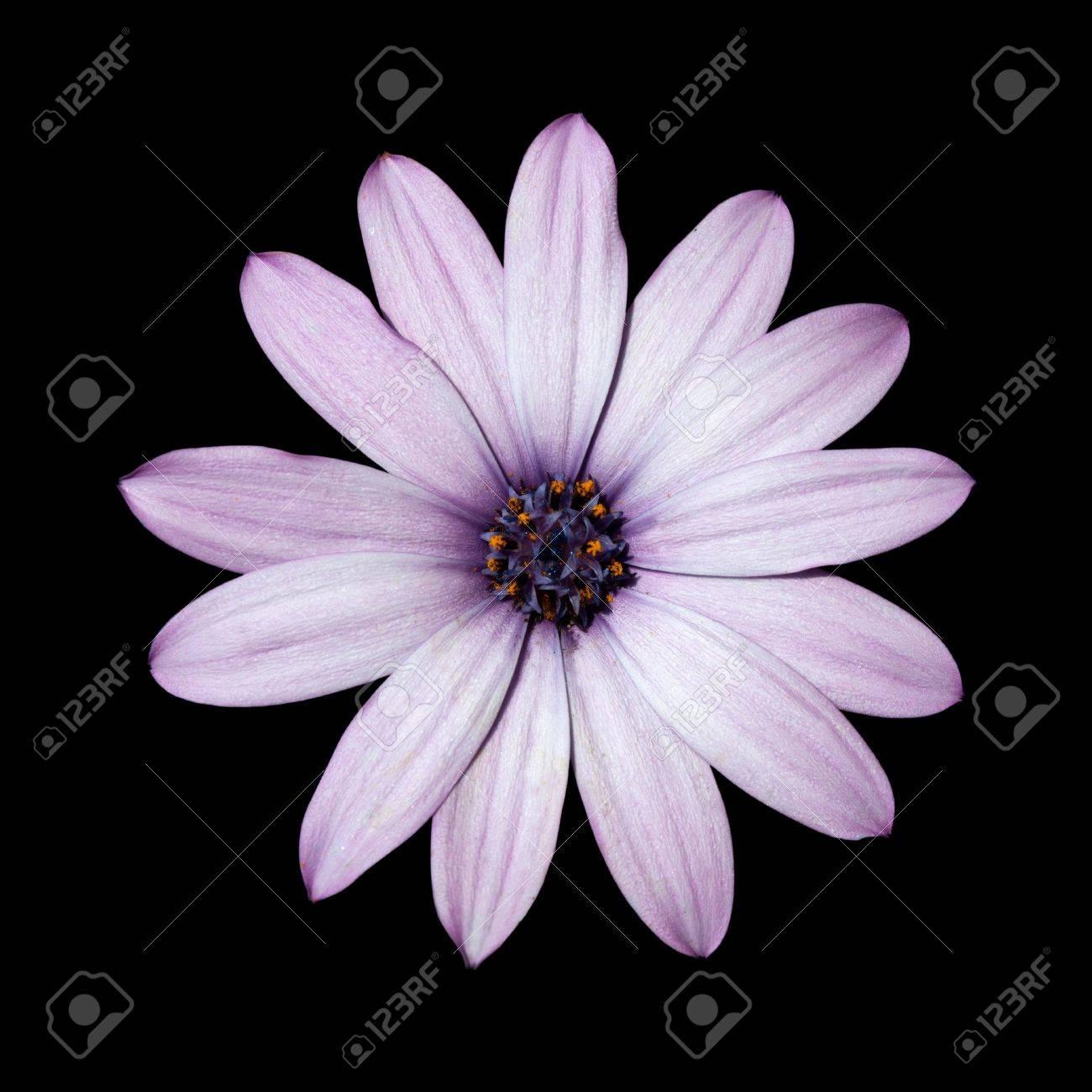 Osteospermum Beautiful Light Purple Daisy Flower Head Top View