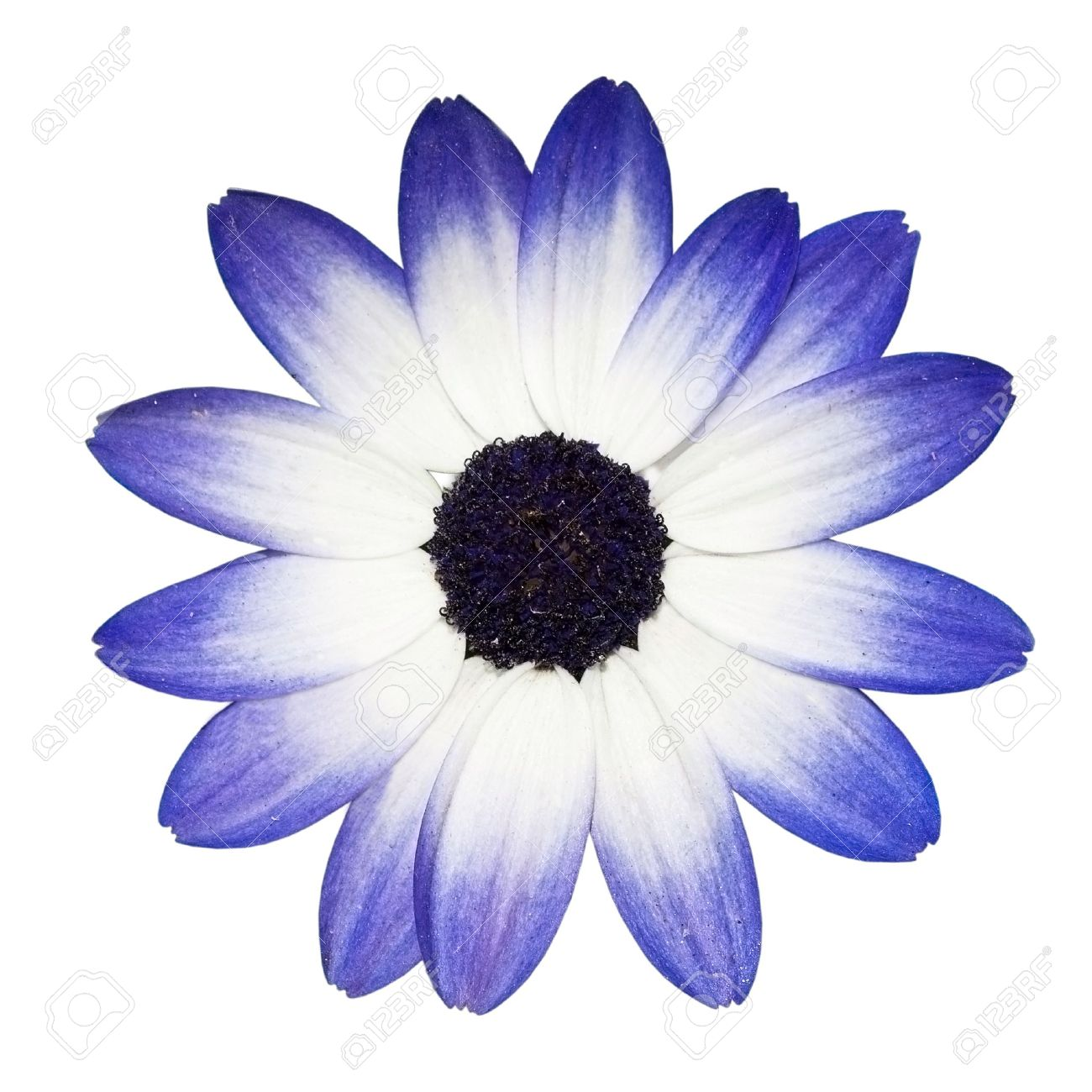 Osteospermum beautiful blue and white daisy flower head top osteospermum beautiful blue and white daisy flower head top view stock photo 7429437 dhlflorist Image collections