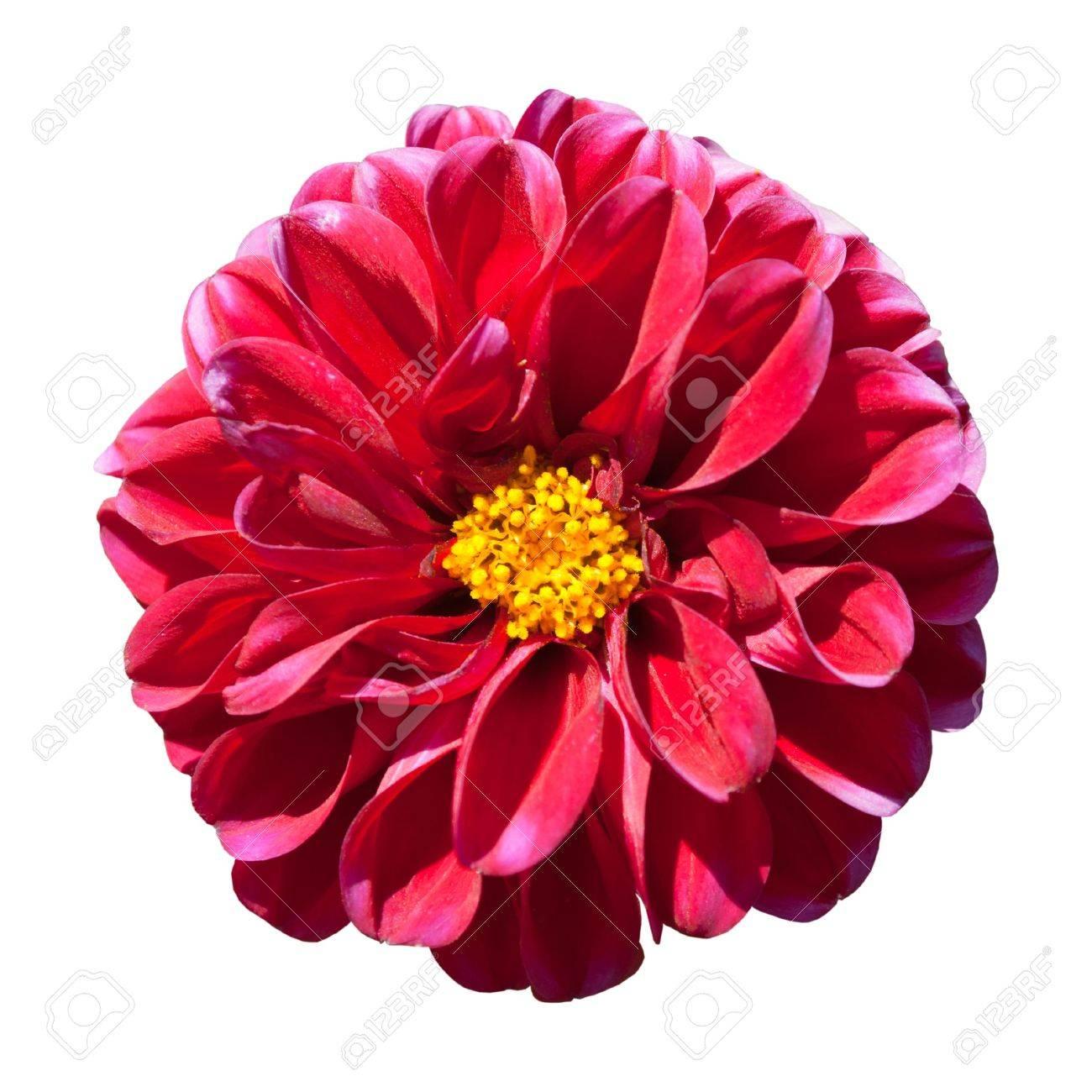 belle fleur dahlia rouge avec le centre jaune isolé sur fond blanc