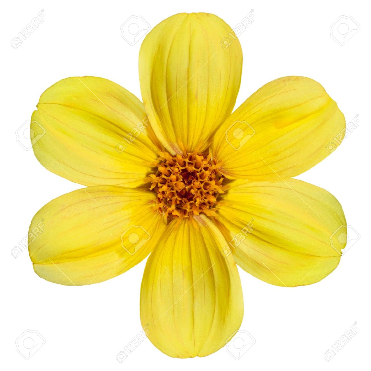 Single flower stock photos royalty free single flower images six fresh petals of beautiful yellow dahlia flower isolated on white background izmirmasajfo