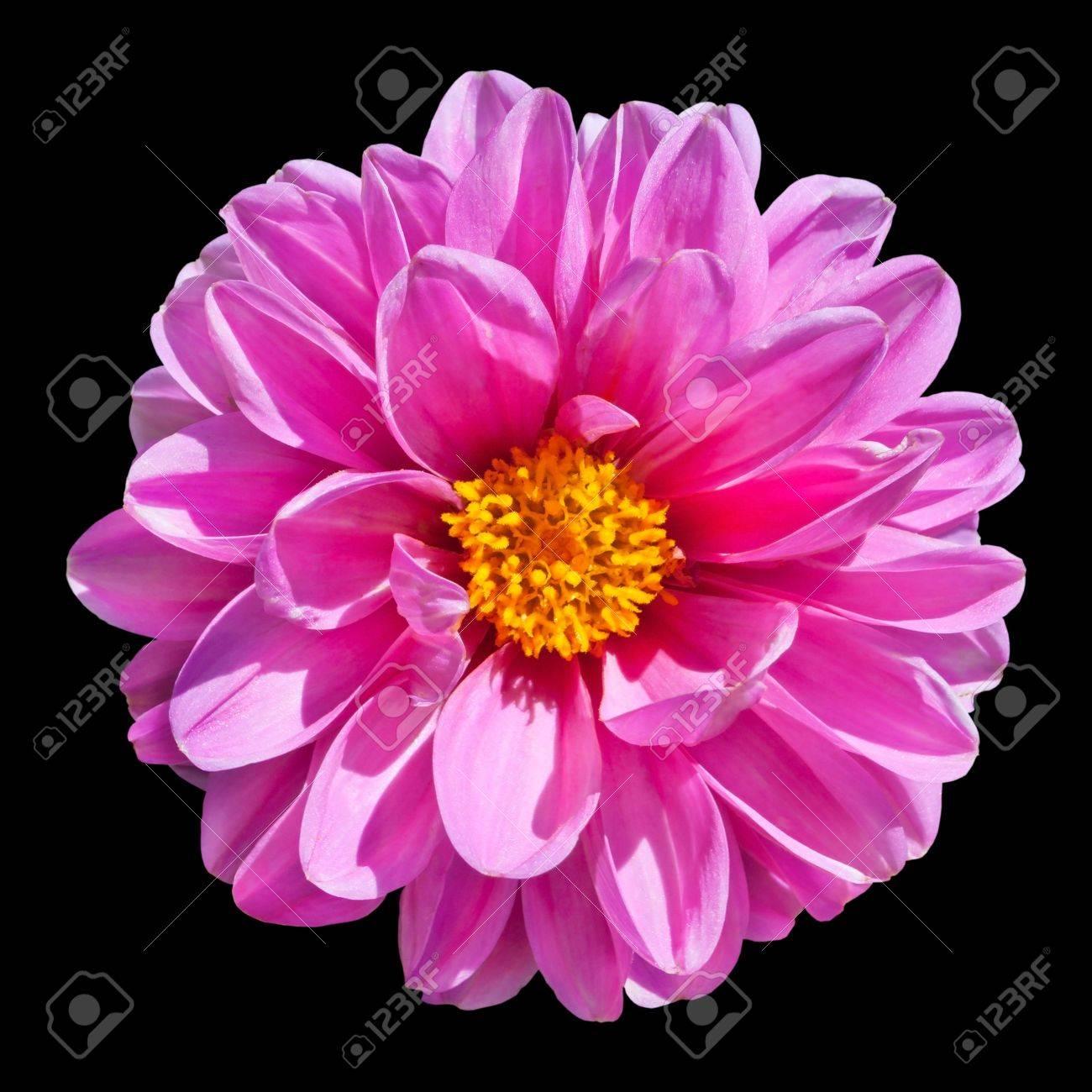 belle fleur rose de dahlia avec le centre jaune isolé sur fond