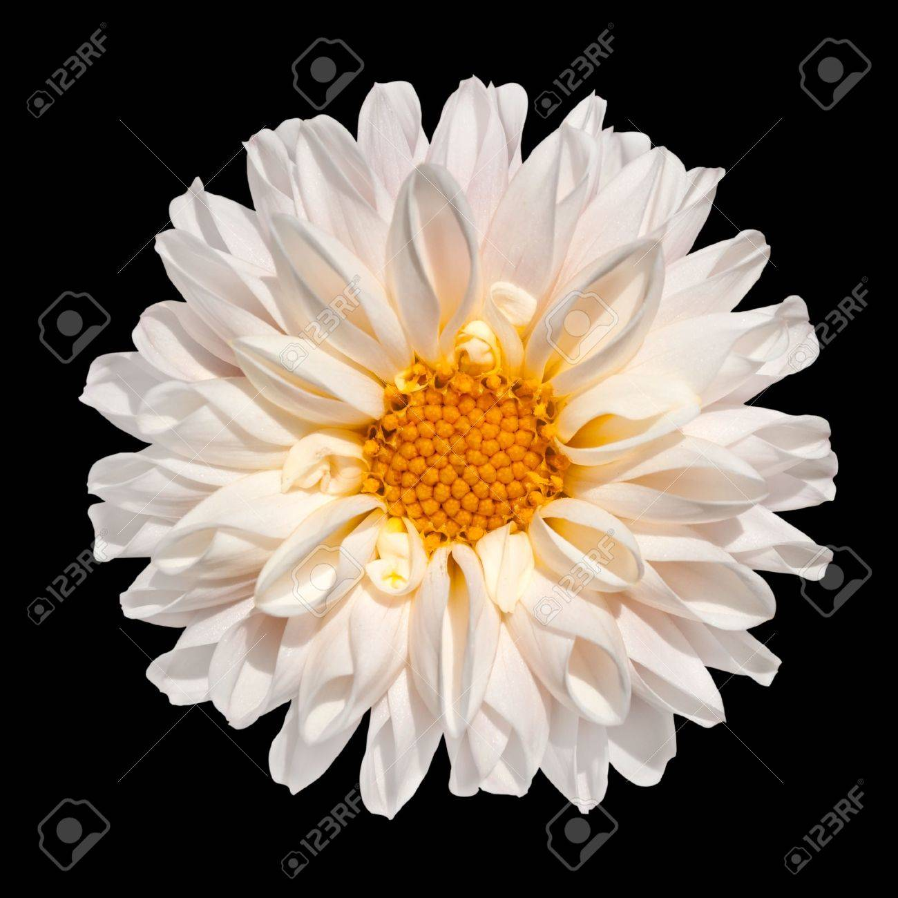 Beautiful White Dahlia Flower With Yellow Center Isolated On Stock