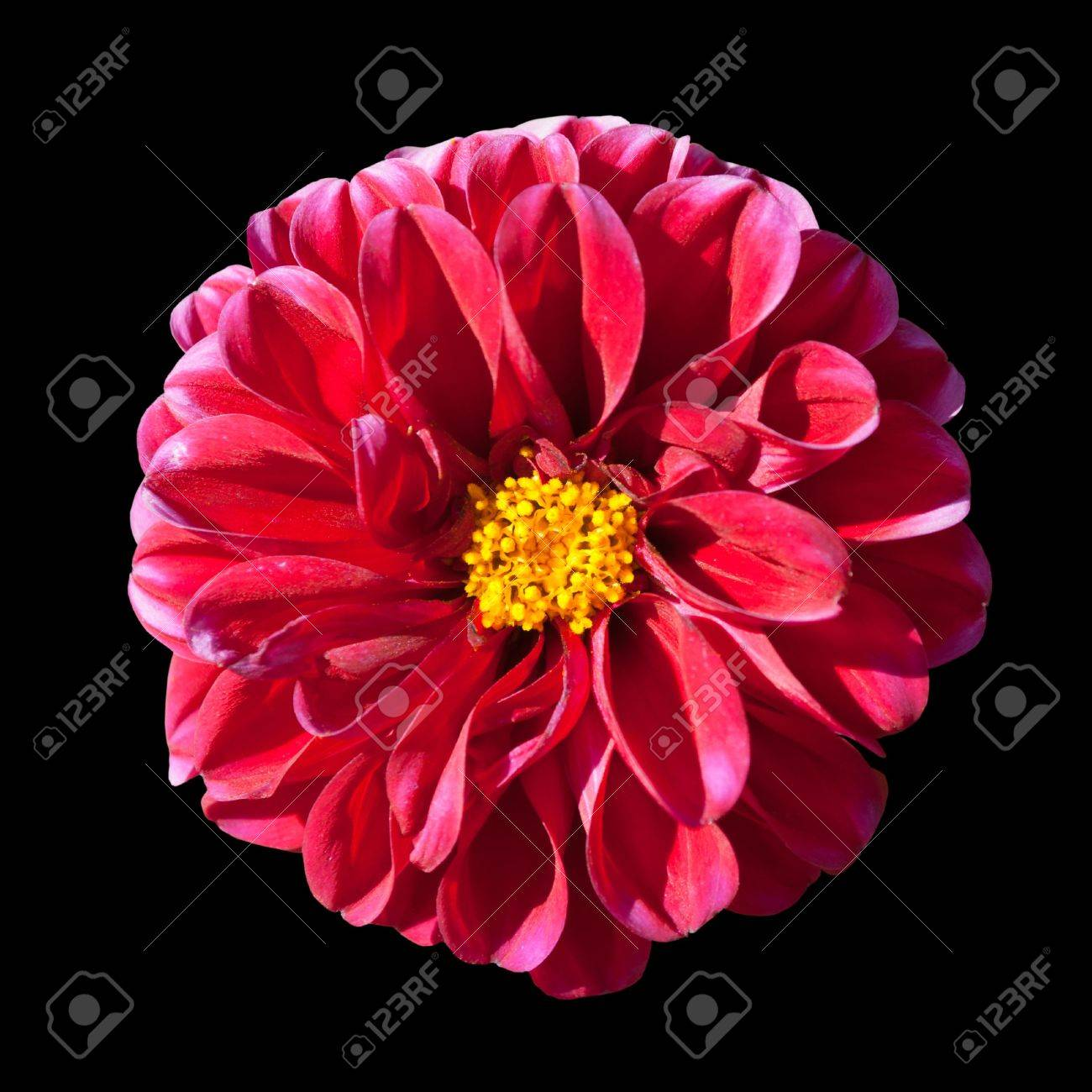 Beautiful red dahlia flower with yellow center isolated on black beautiful red dahlia flower with yellow center isolated on black background stock photo 7877297 izmirmasajfo