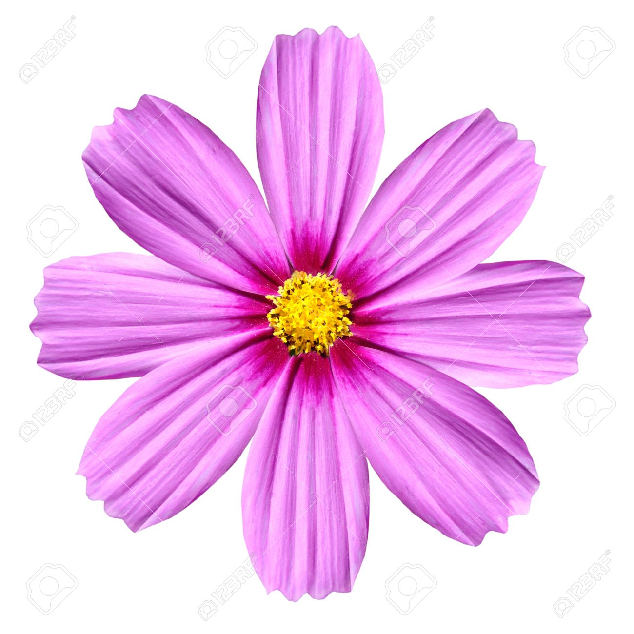 Single Pink Cosmea Rose Beautiful Cosmos Flower Isolated On Stock