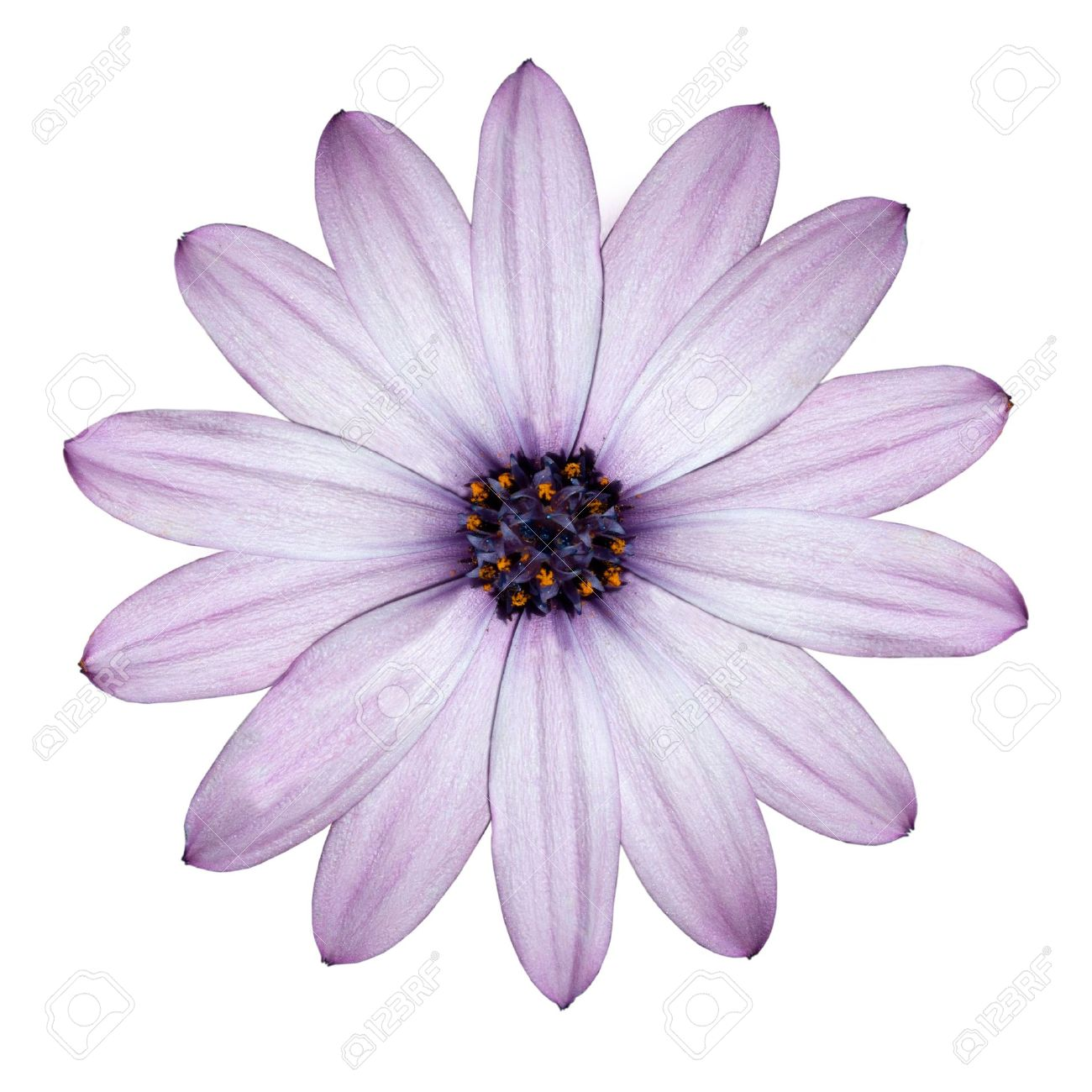 Beautiful light purple daisy blossoming osteospermum flower beautiful light purple daisy blossoming osteospermum flower head top view isolated on white background mightylinksfo