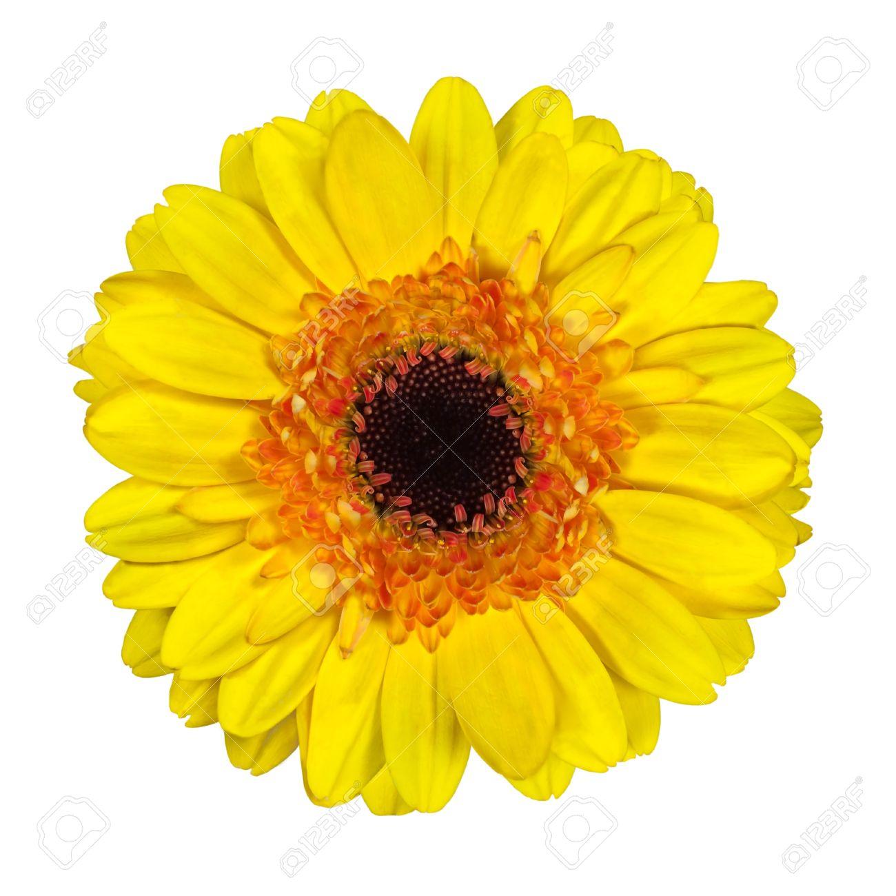 Beautiful Yellow Gerbera Flower With Orange And Black Center.. Stock ...