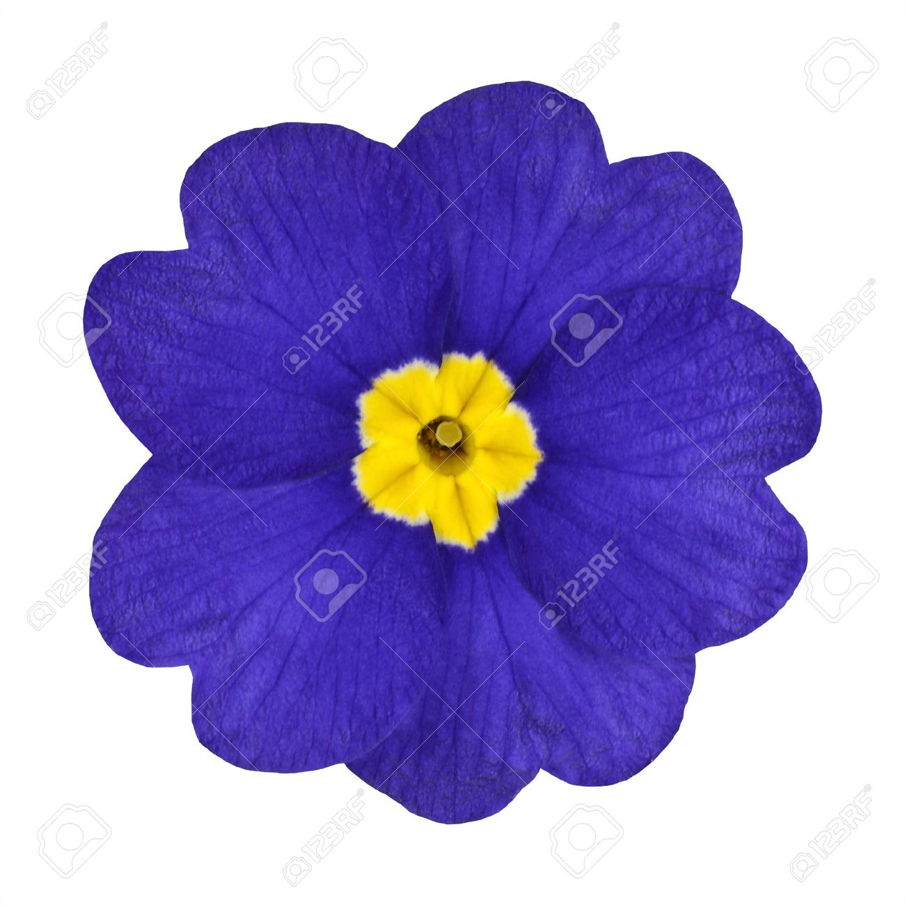 Single Blue Primrose Flower With Yellow Center Isolated On White