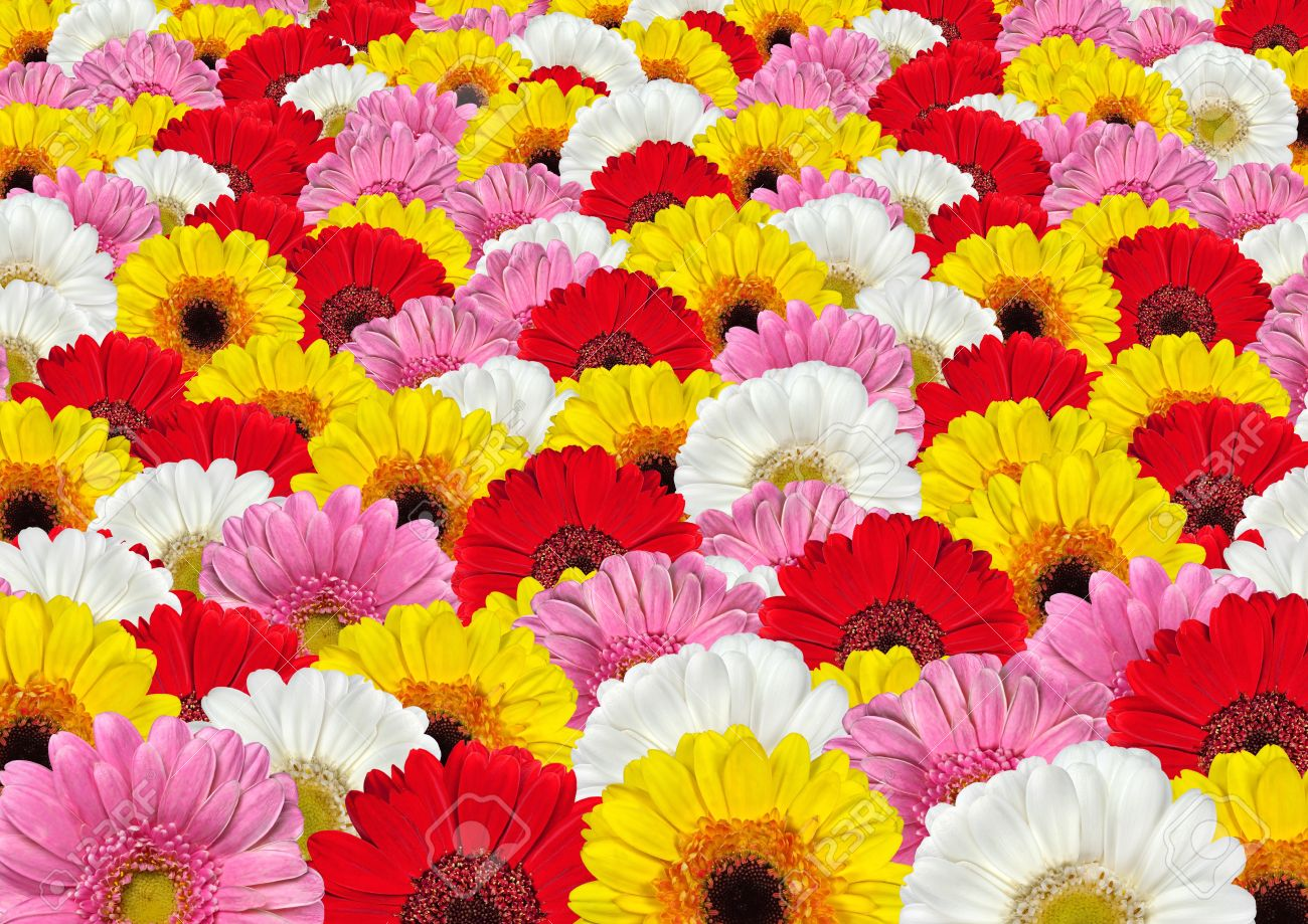 Lots Of Colorful White Red Yellow And Pink Gerbera Flowers Stock
