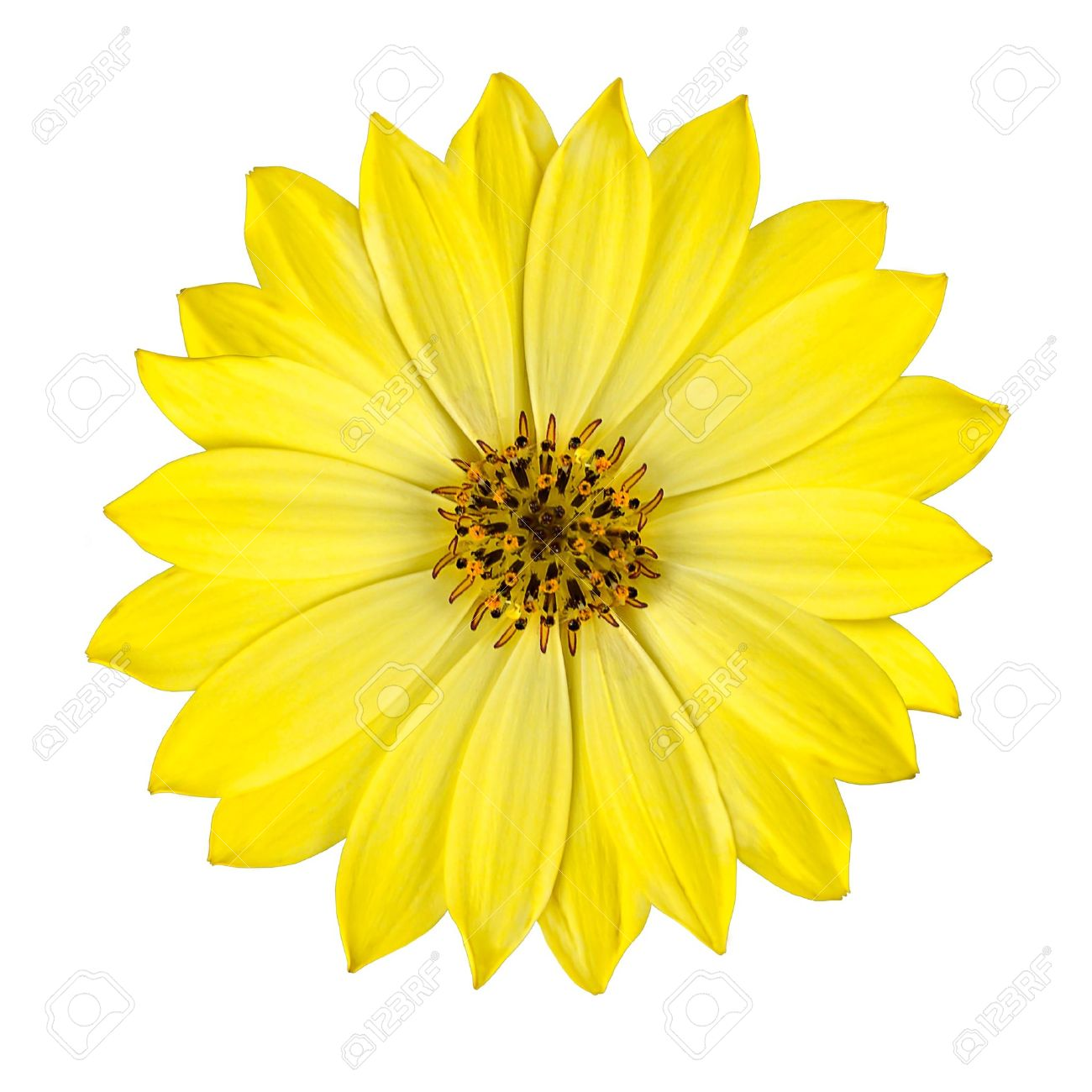 Fresh yellow osteospermum daisy flower isolated on white background fresh yellow osteospermum daisy flower isolated on white background macro closeup stock photo 9394621 izmirmasajfo