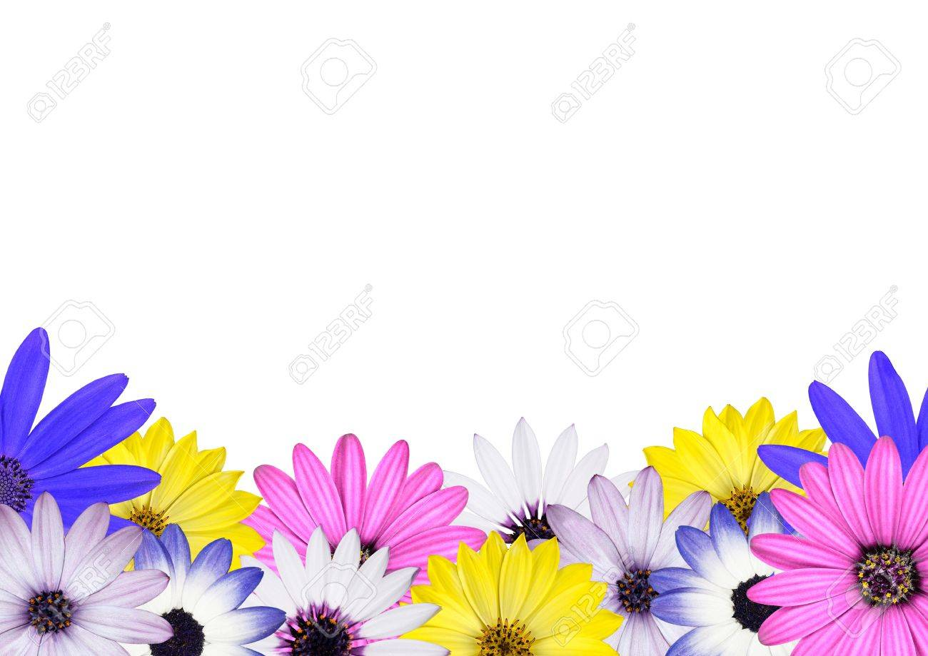 Row of Multi Colored Various Osteosperum Daisy Flowers Isolated on White Background Stock Photo - 9495813