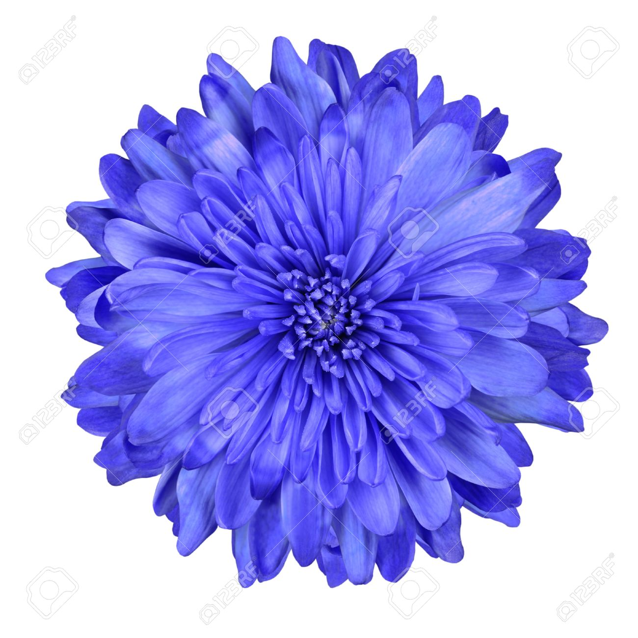 Single deep blue chrysanthemum flower isolated over white background single deep blue chrysanthemum flower isolated over white background beautiful dahlia flowerhead macro stock photo mightylinksfo