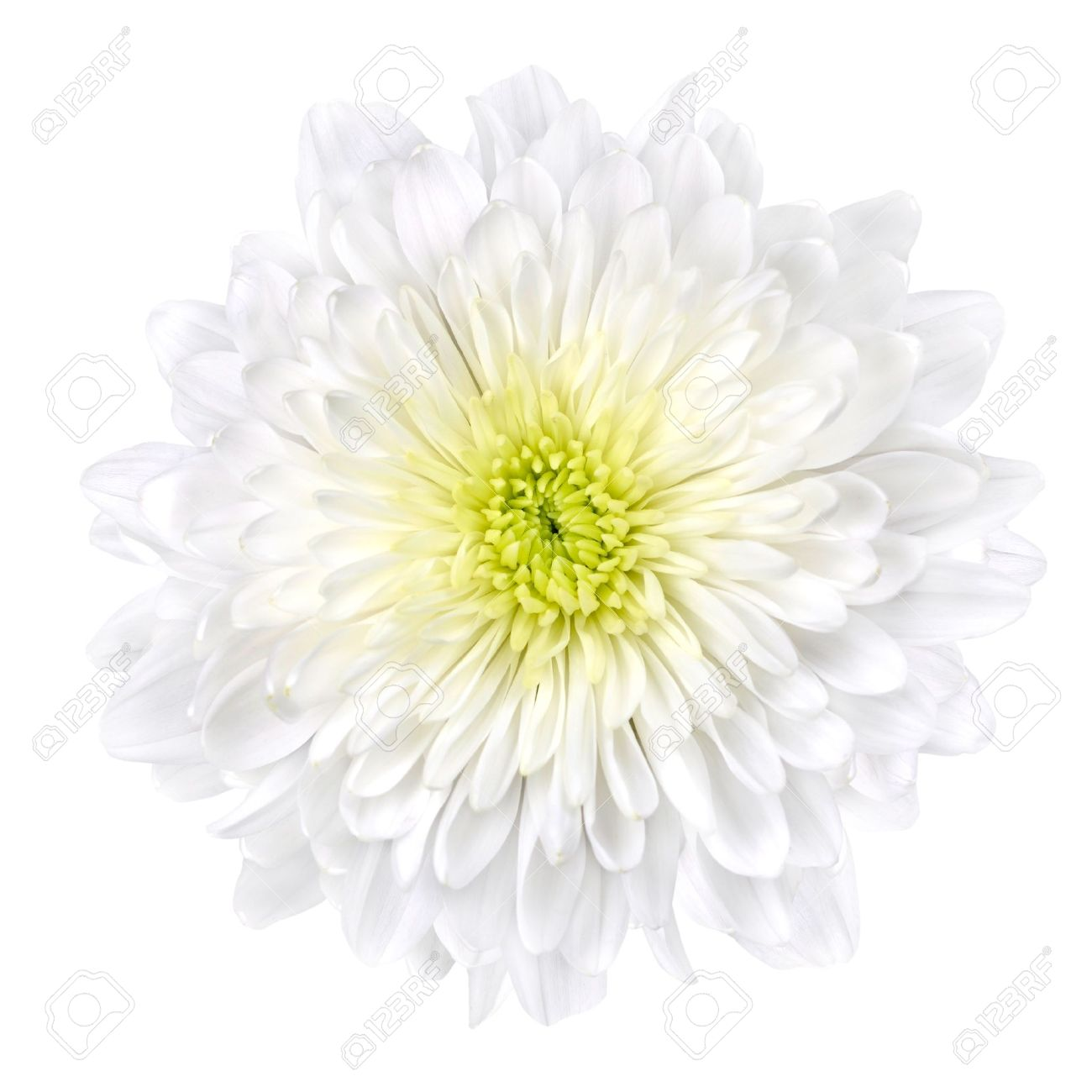 Single White Chrysanthemum Flower with Yellow Center Isolated over White Background. Beautiful Dahlia Flowerhead Macro Stock Photo - 9643127