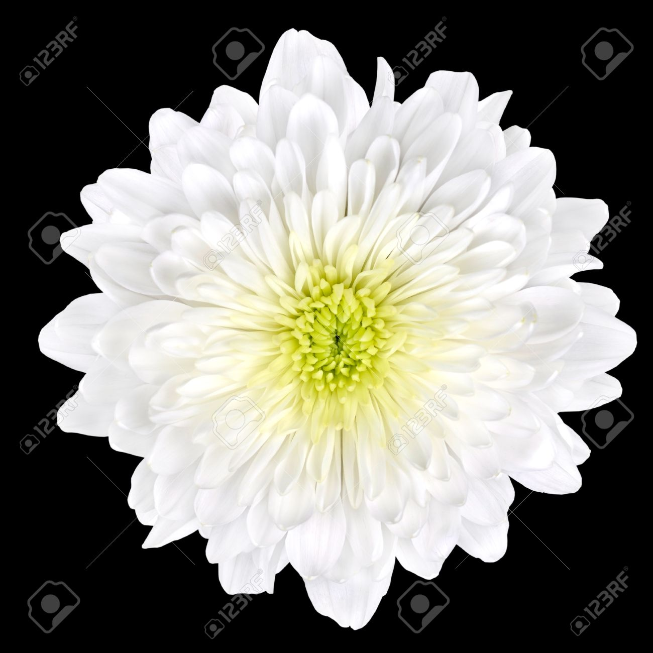 Single White Chrysanthemum Flower With Yellow Center Isolated ...