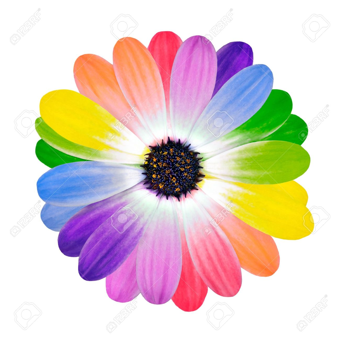rainbow flower multi colored petals of daisy flower isolated, Beautiful flower