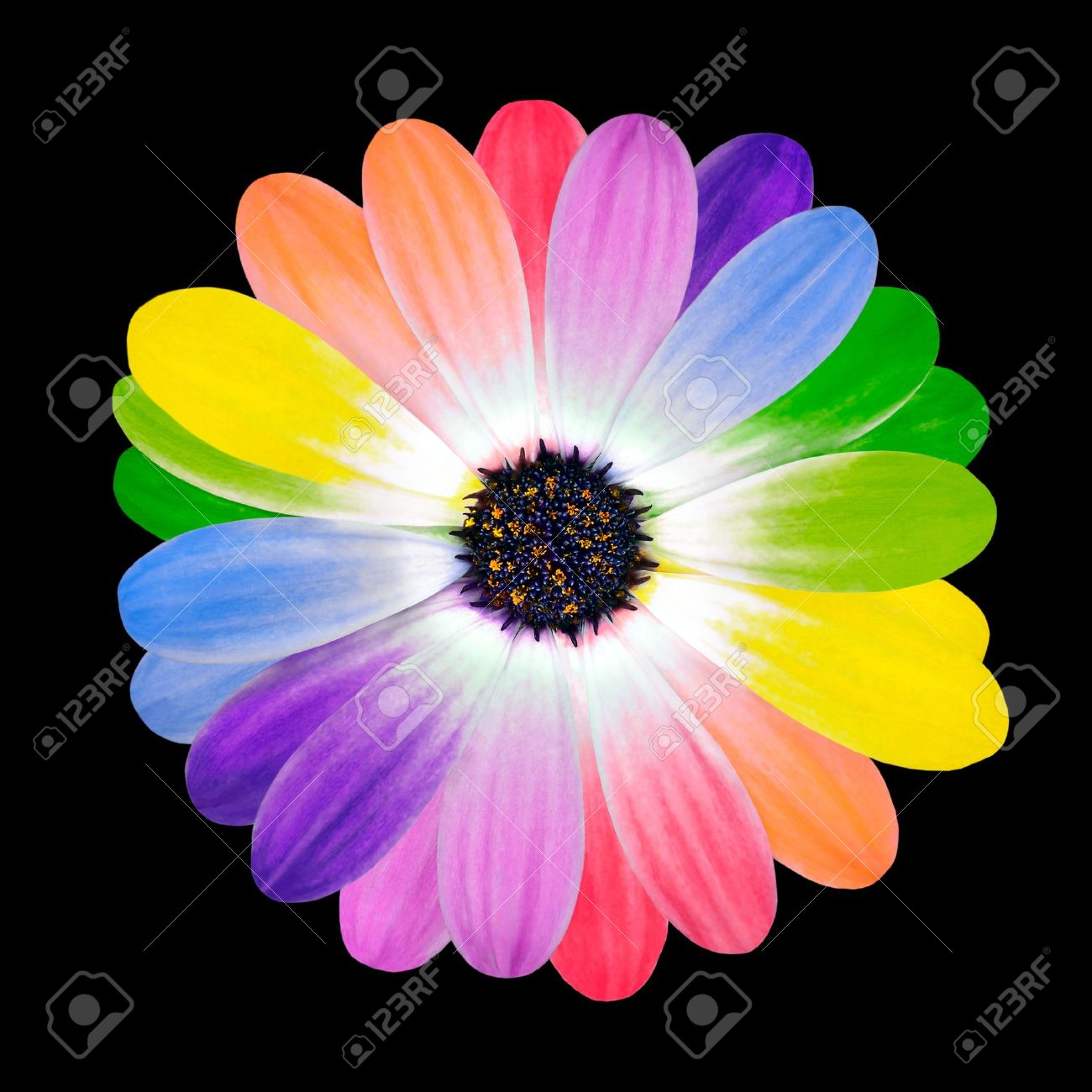 Rainbow Flower Multi Colored Petals Of Daisy Flower Isolated Stock