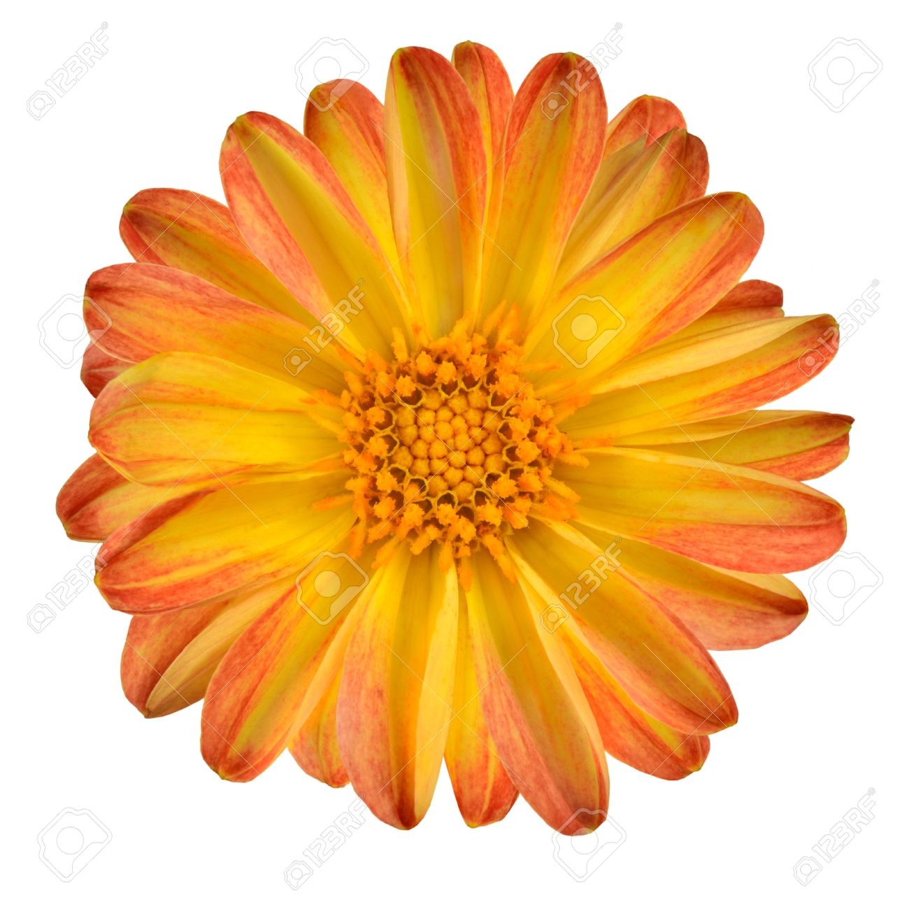 dahlia fleur avec orange pétales jaune isolé sur fond blanc banque