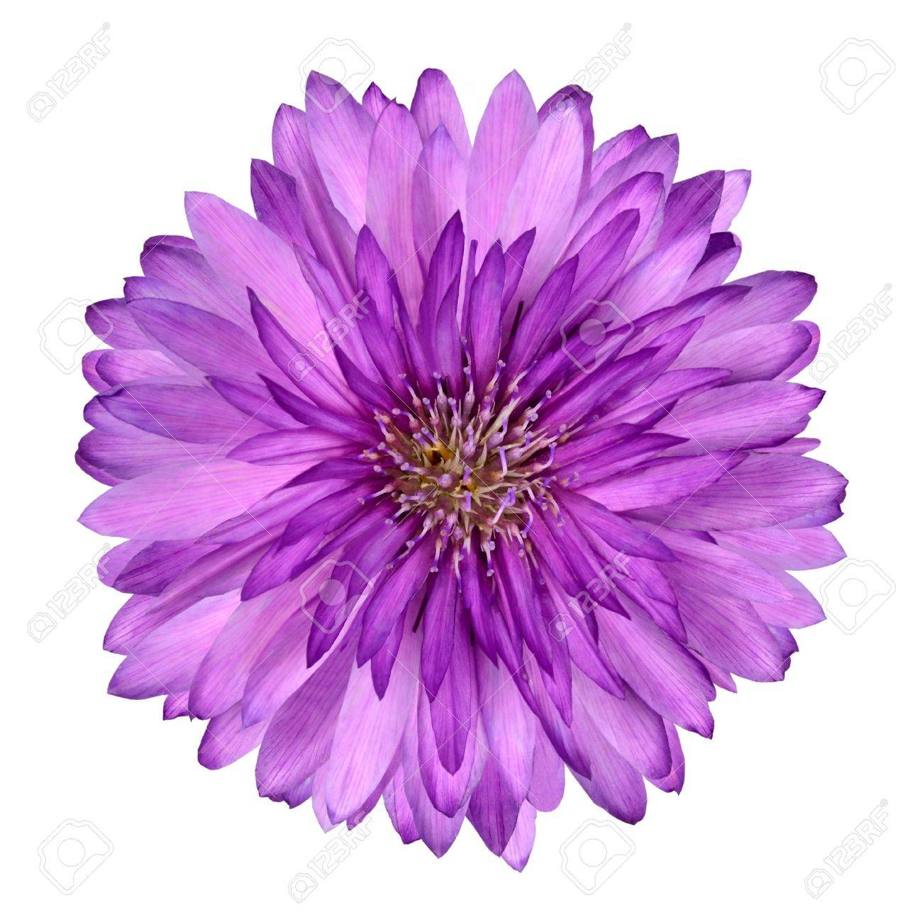 Cornflower Like Pink And Purple Flower Isolated On White Background ...