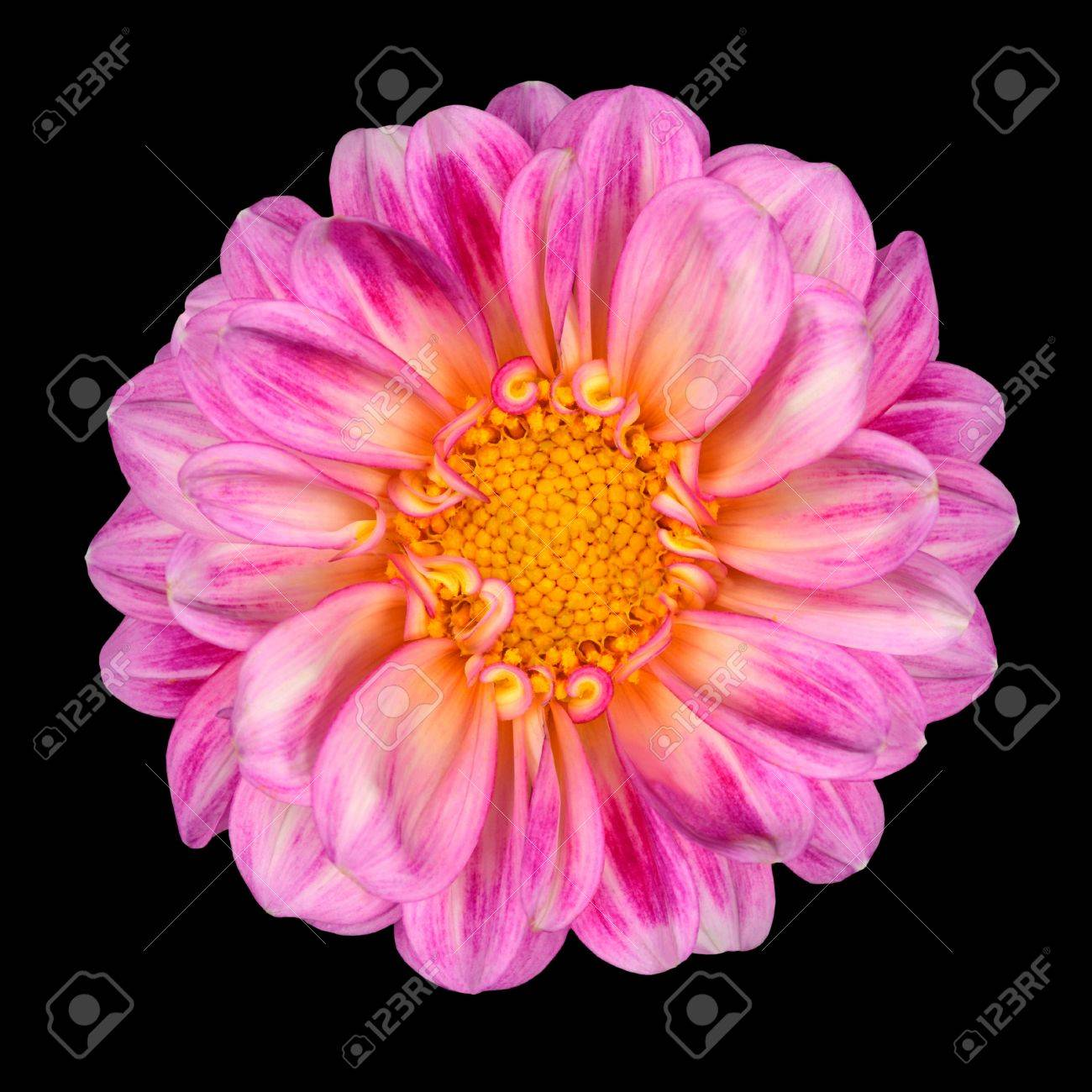 Dahlia flower with pink white petals and yellow center isolated dahlia flower with pink white petals and yellow center isolated on black background stock photo mightylinksfo
