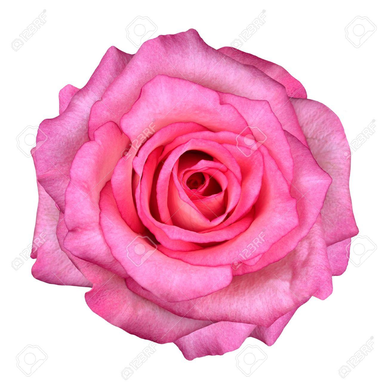Pink rose flower isolated on white background top view on beautiful pink rose flower isolated on white background top view on beautiful pink rose flower stock mightylinksfo