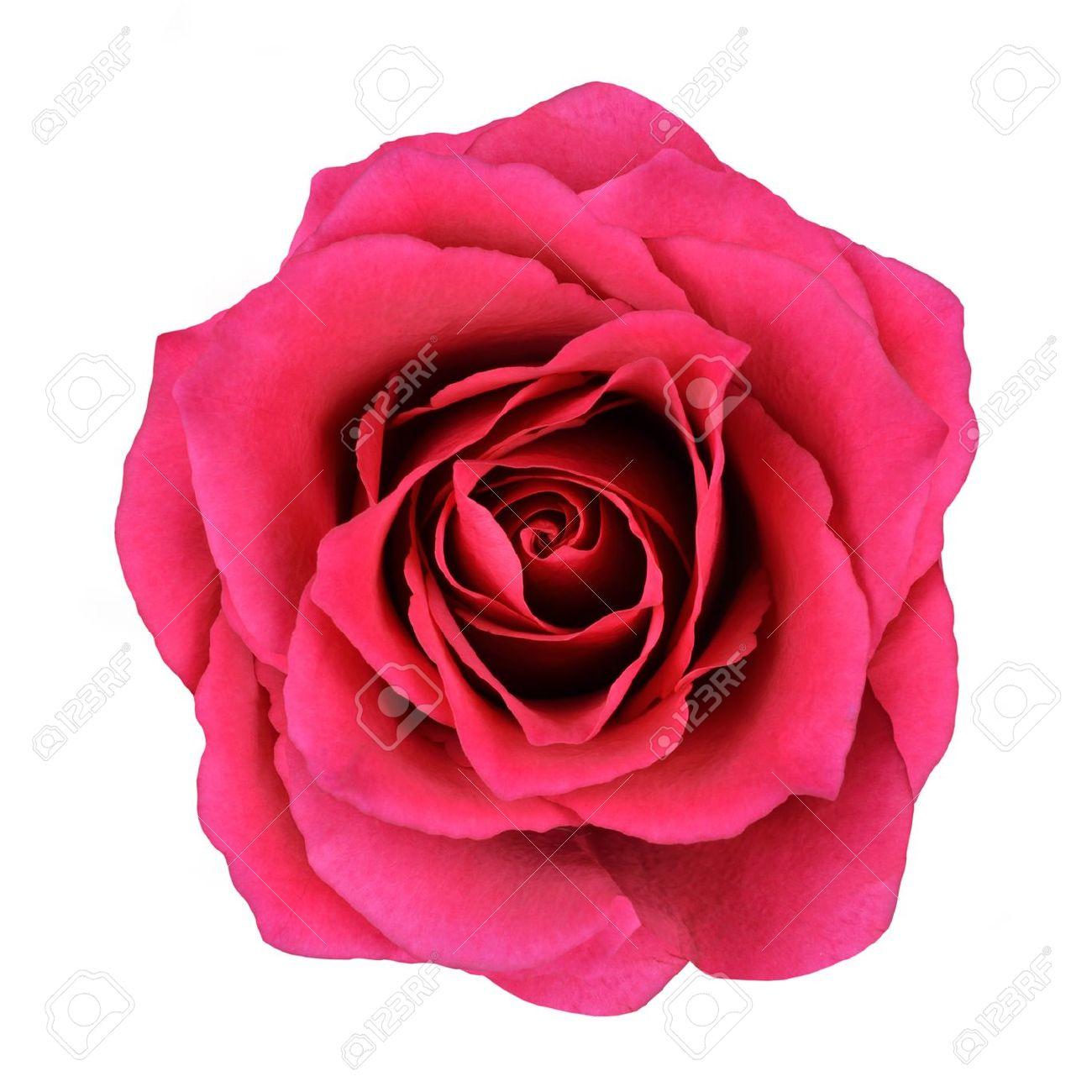rose rouge fleur isolée sur fond blanc. vue d'en haut sur la belle