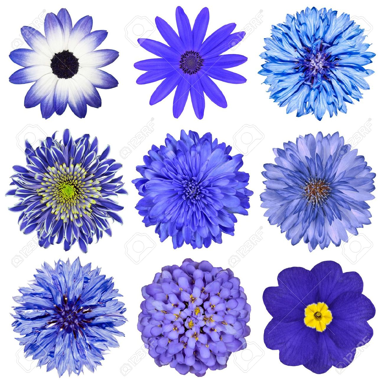 Various Blue Flowers Selection Isolated On White Background Daisy