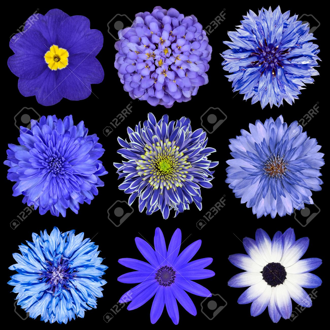 Cornflower stock photos royalty free cornflower images and pictures cornflower various blue flowers selection isolated on black background daisy chrystanthemum cornflower dhlflorist Images