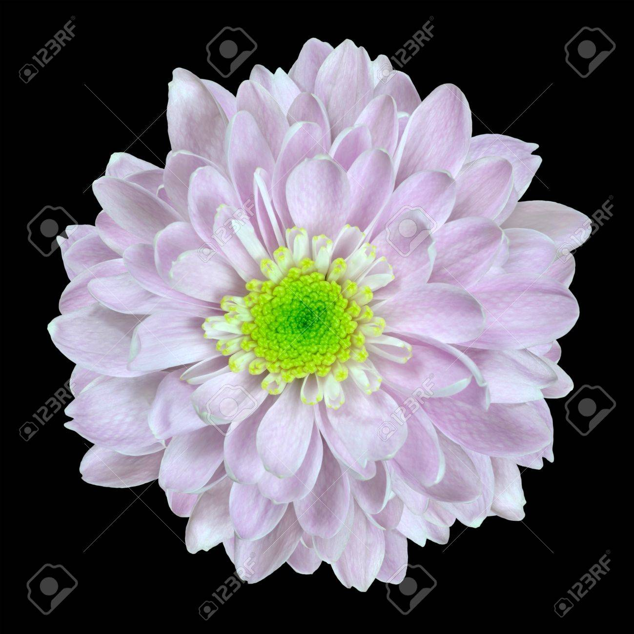 Pink And White Dahlia Flower With Lime Center Isolated On Black