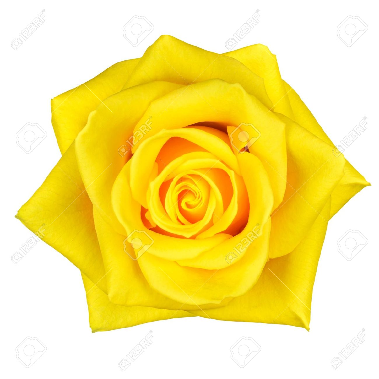 Beautiful macro of yellow rose flower isolated on white background beautiful macro of yellow rose flower isolated on white background stock photo 12918729 dhlflorist Image collections